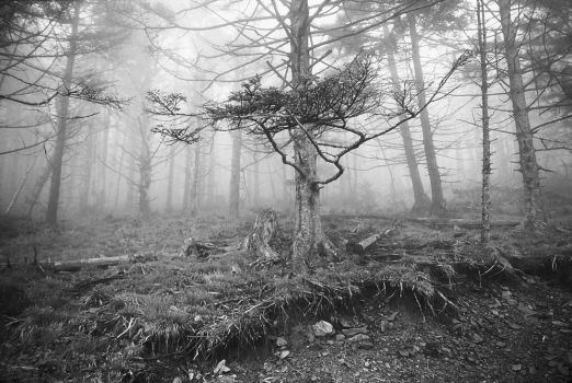 Ghost Forest on Clingman's Dome, Tenessee by starfire777