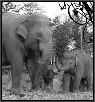 elephants 1 by pirate-penguin-luver