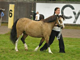 welsh c mare 2 by wakedeadman