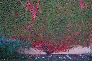 Fall vine in Sonoma by xraynet