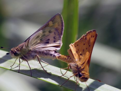 Skippers Mating by suhleap