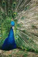 blue peafowl - Pavo cristatus by nashabah