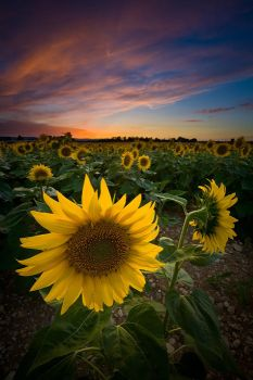 Sunflowers ... by vincentfavre