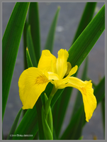 Spring Yellow Iris by Mogrianne