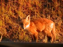 Baby Fox - 2 by ariastrife