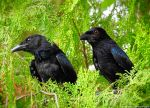 Spangled Drongos by Mike-Kossi