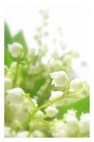 lily of the valley 2 by LesEssences