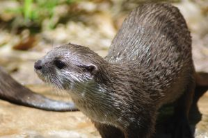 Oriental Small Claw Otter by Althalore