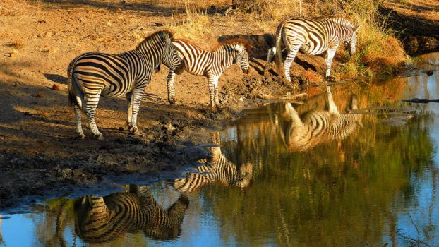 Zebras at watering hole by xraynet