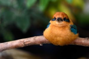 Micronesian Kingfisher 1 by CharlesWb