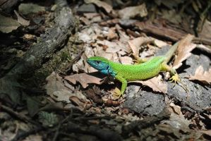 Hello there,lizard! by CarlaTm