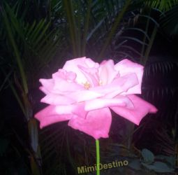 pink rose by Mimi-Destino