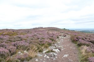 STOCK: heather moorland by shadowsthyme