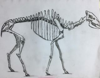 skeleton of the ellodorot by asarcus
