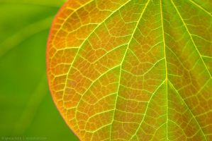 Veins of a leaf by isotophoto