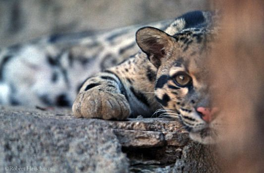 One-eyed Leopard by robbobert