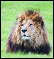 Male Lion by Wivelrod