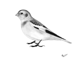 Snow bunting by mossoak