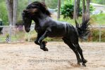 E friesian Leaping rearing jumping side view by Chunga-Stock