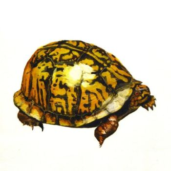 Eastern Box Turtle by NathanLParker