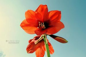Amaryllis the Red by LuciusThePope
