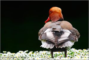 Red Crested Pochard. by andy-j-s