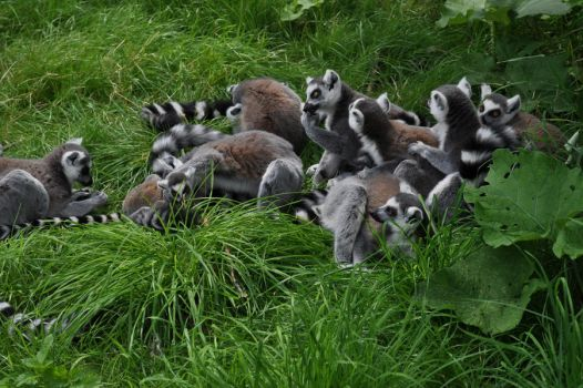 Ring-Tailed Lemurs: Crowd 2 by MalouMagnificent