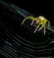 Spider by bulgphoto