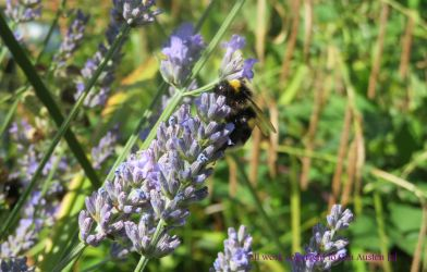 BEE WITH BIG EYES IN LAVENDER by GeaAusten