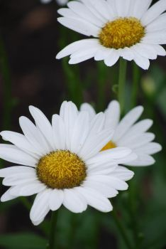 Daisy Close-Up by Serahe