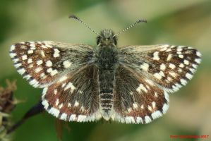 Grizzled Skipper by Terrydunk