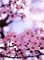 Pink cherry blossom by tigerelune