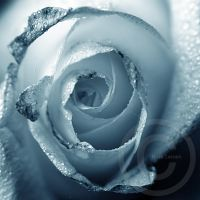 Roses are BLUE by ninazdesign