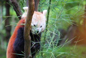 Red Panda by Agamerswork