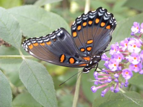 Red-Spotted Purple Butterfly Wing by JennHolton
