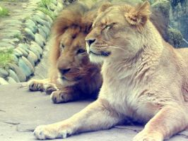 Lions by anindiesummertime