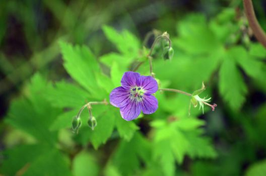 wood cranesbill II by tonnyfroyen