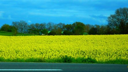 Field of Gold 2 by nicolapin