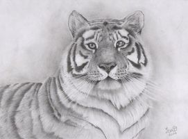 Siberian Tiger by ieva111