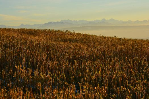 Field and Mountains by SelvaStock
