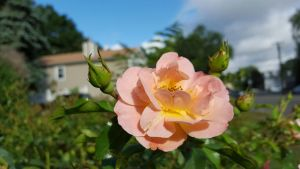 Just a Rose by GUDRUN355