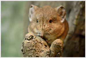 Elephant shrew by xxMademoiselleKarma