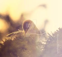 Chiffchaff by Morgan-Lou