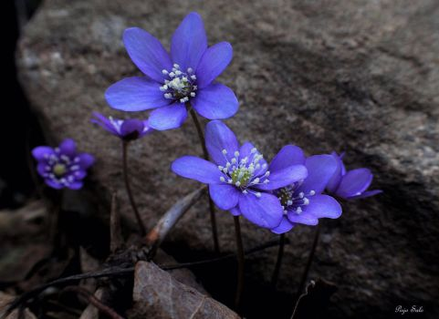 Hepatica nobilis by Tuulikannel