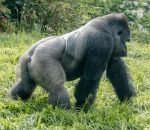 Gorilla strolling by by sequential
