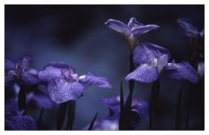iris.christchurch by yatu-ex