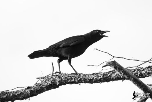 American Crow 2 by EdgedFeather