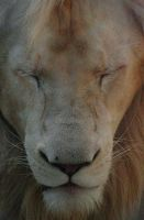 zoo lion by milanglo