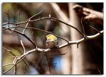 Yellow Warbler - 1 by bp2007