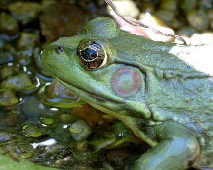 The Frog by ignavius